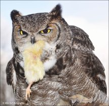 African Spotted Eagle Owl 8