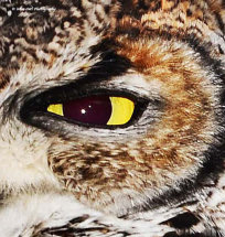 African Spotted Eagle Owl 9