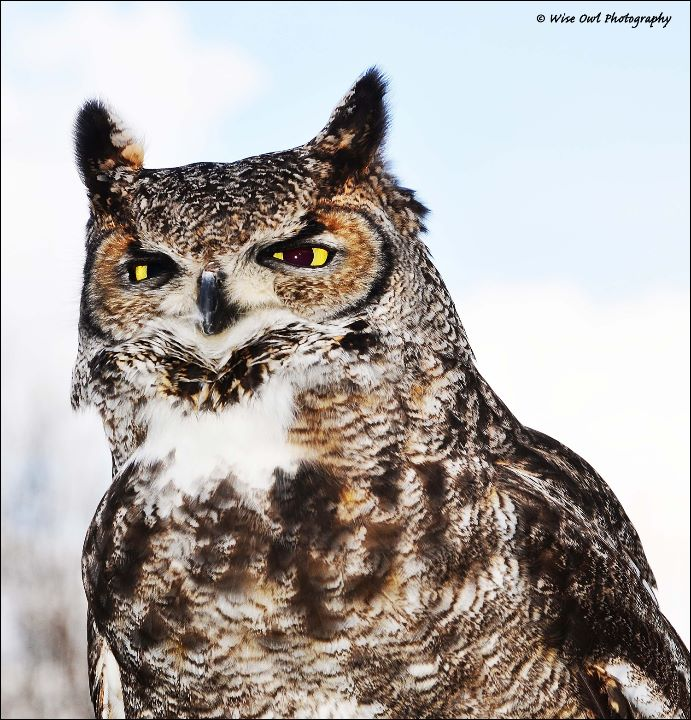 African Spotted Eagle Owl 10