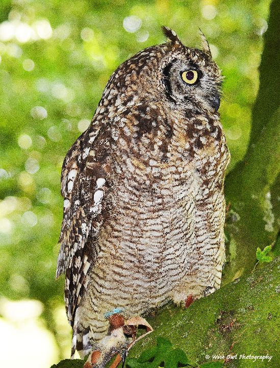African Spotted Eagle Owl 5