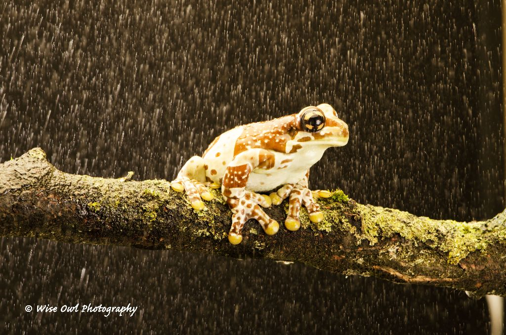Amazon Milk Frog in the Rain 1