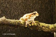 Amazon Milk Frog in the Rain 1