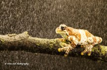 Amazon Milk Frog in the Rain 2