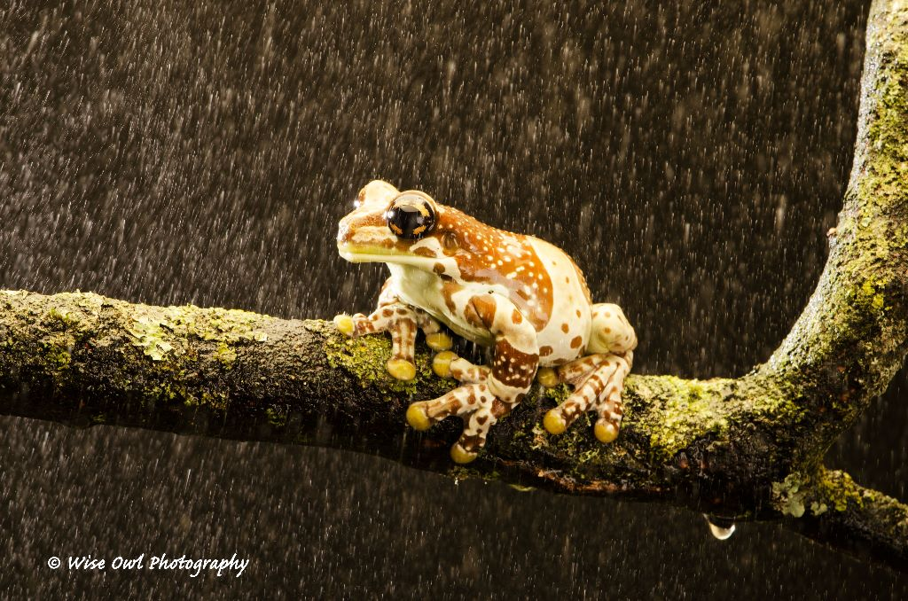 Amazon Milk Frog in the Rain 3