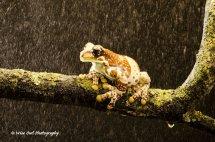 Amazon Milk Frog in the Rain 3