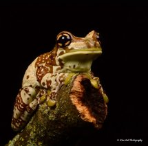 Amazon Milk Frog 10