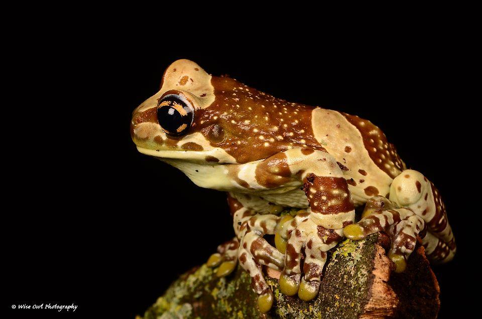 Amazon Milk Frog 11