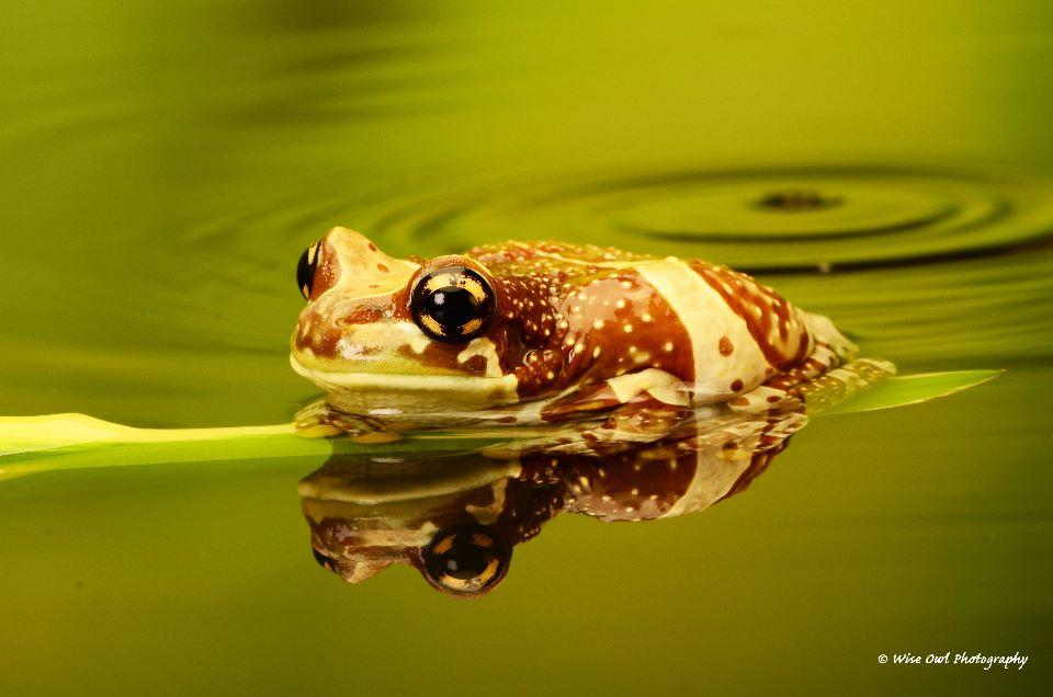 Amazon Milk Frog 1