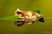 Amazon Milk Frog 2