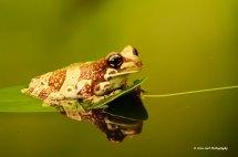 Amazon Milk Frog 3