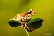 Amazon Milk Frog 4