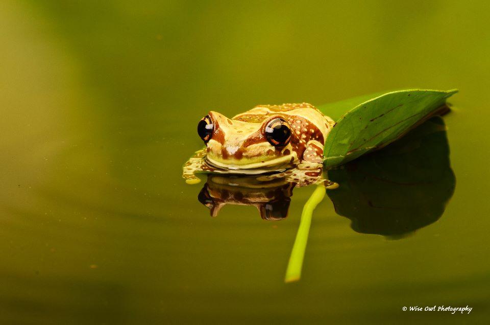 Amazon Milk Frog 5