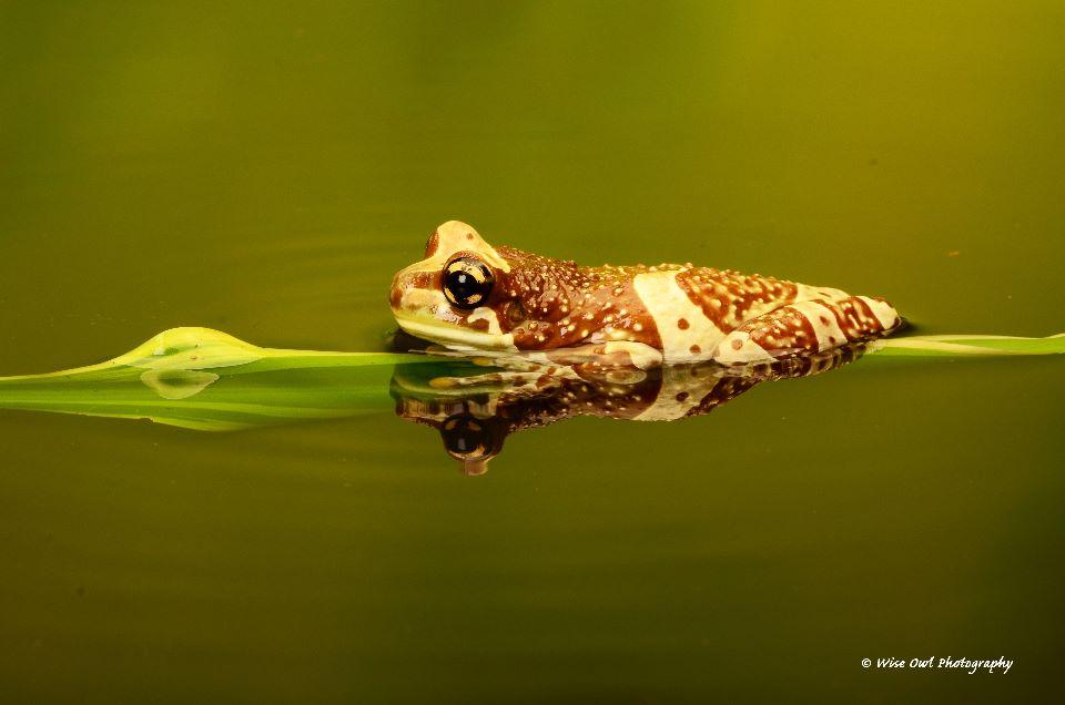 Amazon Milk Frog 6
