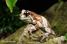 Amazon Milk Frog 13