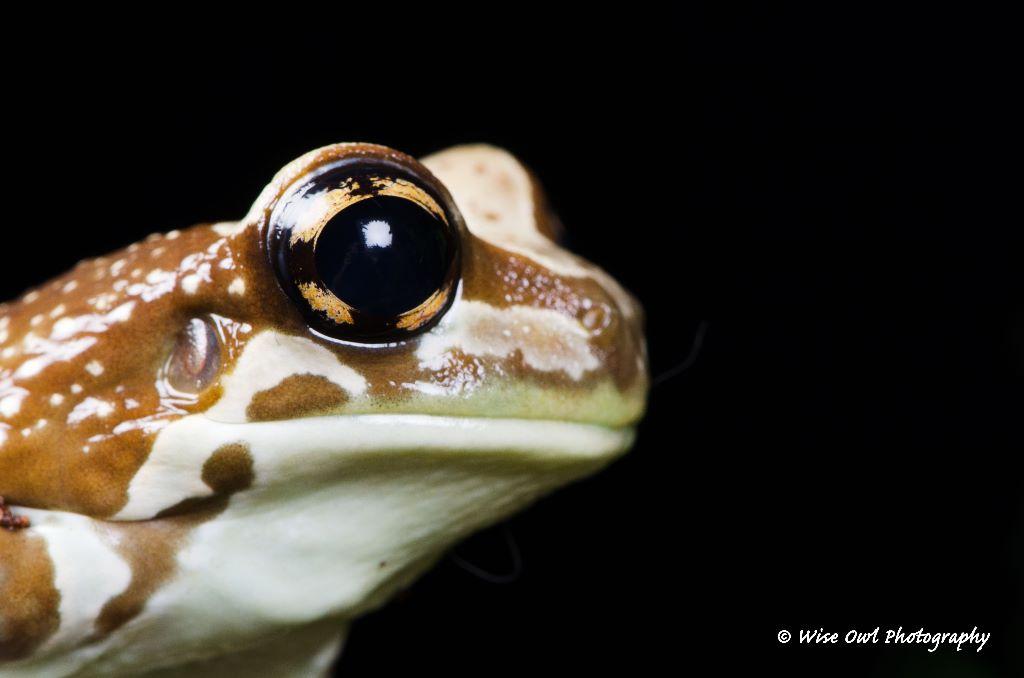 Amazon Milk Frog 12
