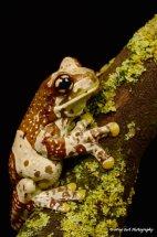 Amazon Milk Frog 7