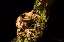Amazon Milk Frog 8