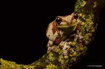 Amazon Milk Frog 9