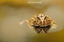 Argentine Ornate Horned Frog 4