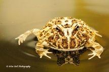 Argentine Ornate Horned Frog 5