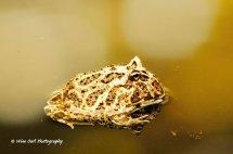 Argentine Ornate Horned Frog 6