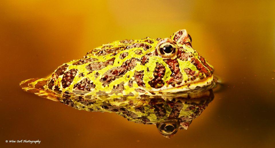 Argentine Ornate Horned Frog 1