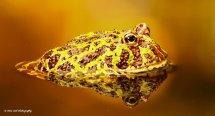 Argentinian Ornate Horned Frog 1
