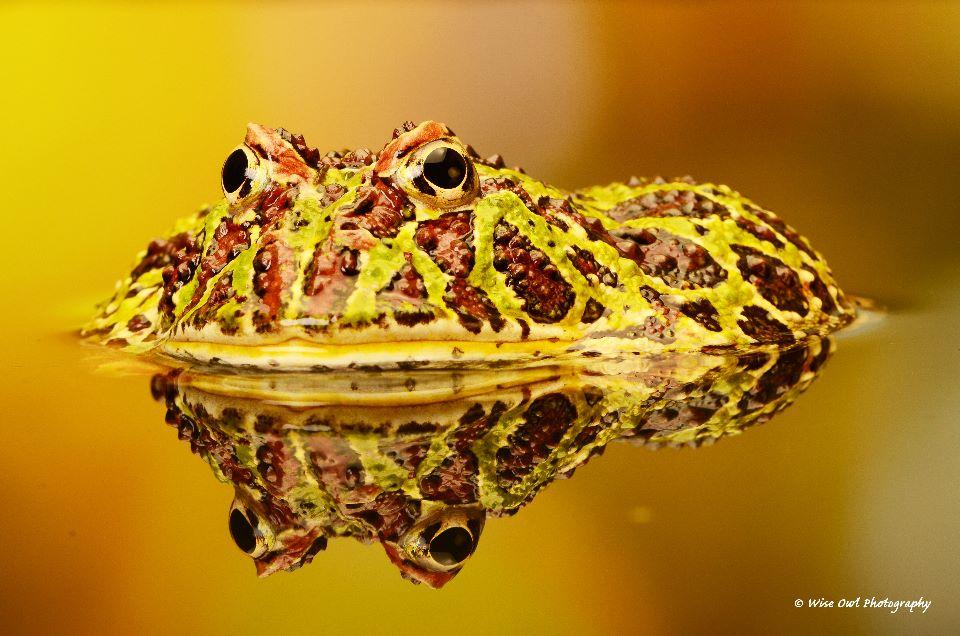 Argentine Ornate Horned Frog 2