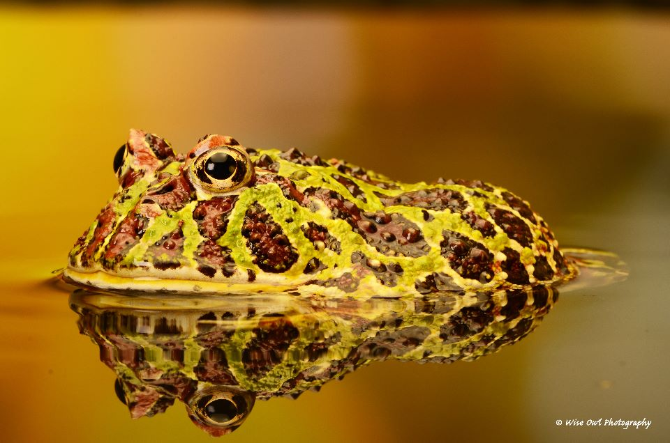 Argentine Ornate Horned Frog 3