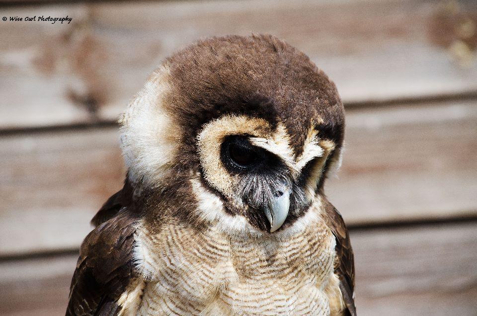 Asian Wood Owl
