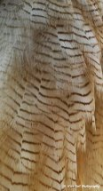 Asian Wood Owl Feathers 1
