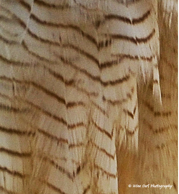 Asian Wood Owl Feathers 2