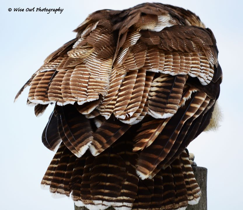 Asian Wood Owl Feathers 3