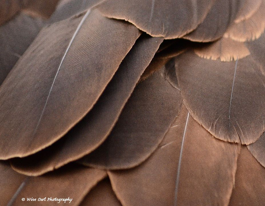 Bald Eagle Feathers 1