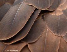 Bald Eagle Feathers 1