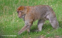 Barbary Macaque 4