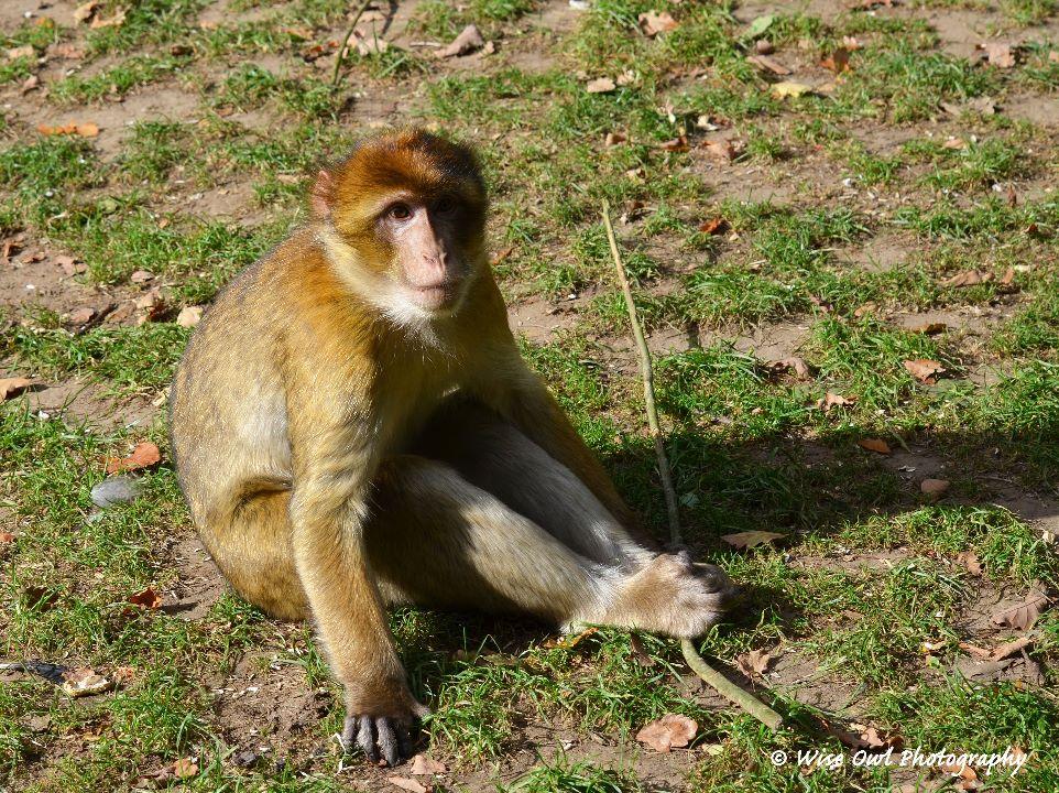 Barbary Macaque 3