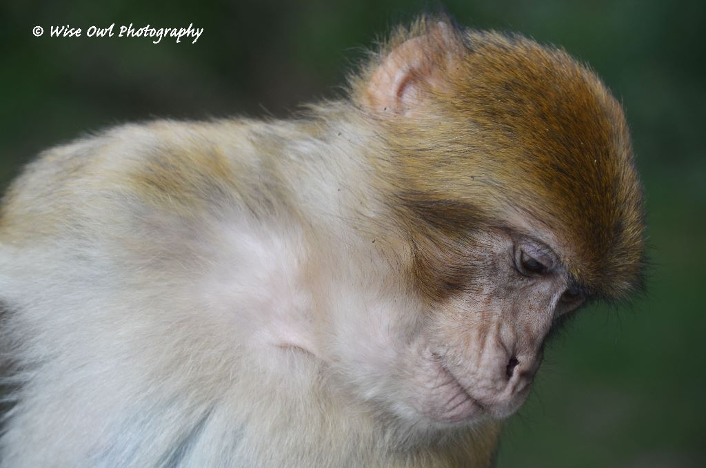 Barbary Macaque 7