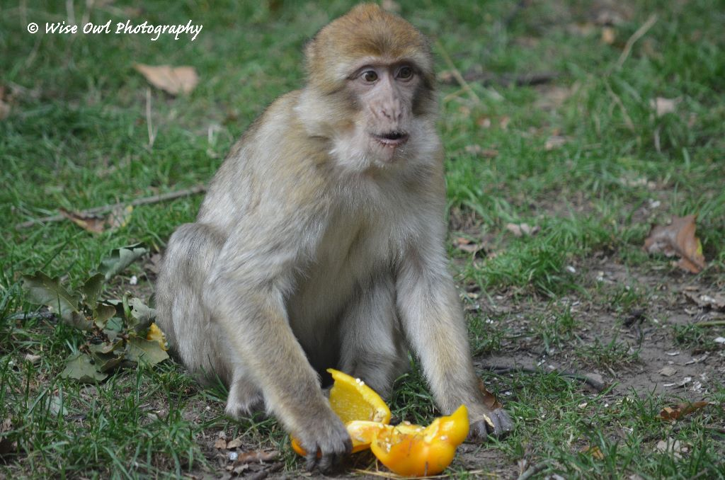 Barbary Macaque 6