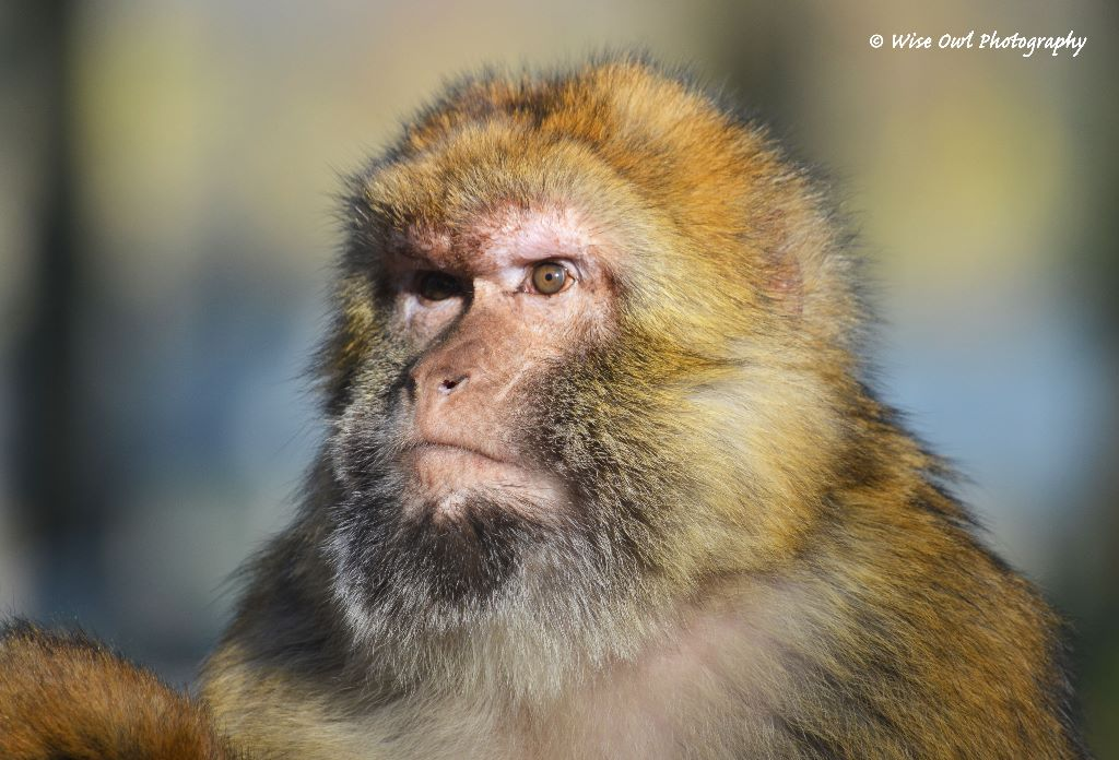 Barbary Macaque 5