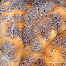 Barn Owl Feathers