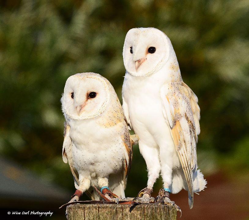 Barn Owl Siblings 1