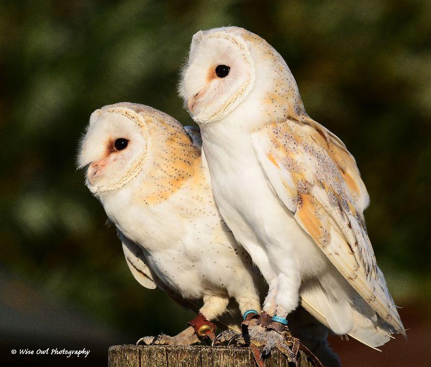 Barn Owl Siblings 2
