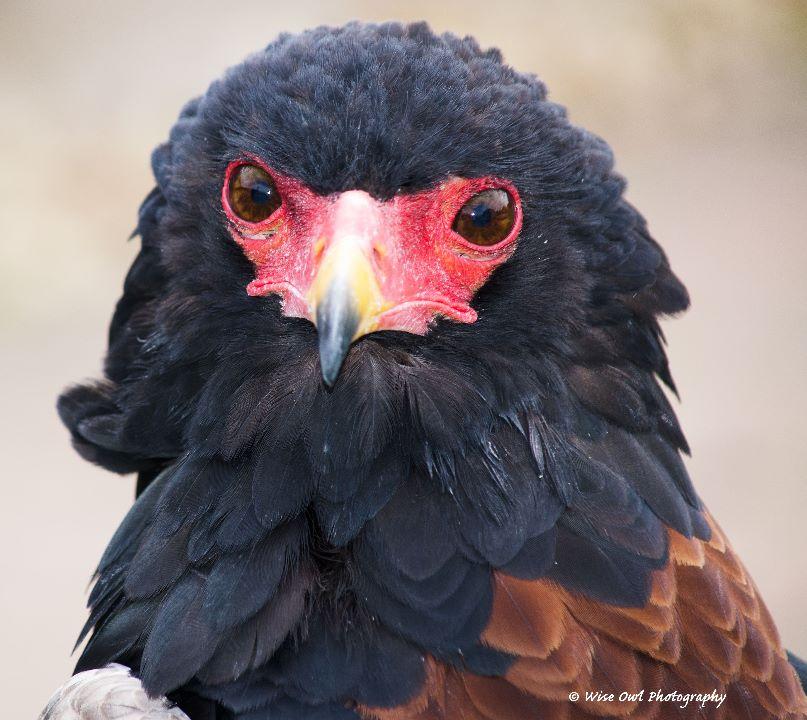Bateleur Eagle 1