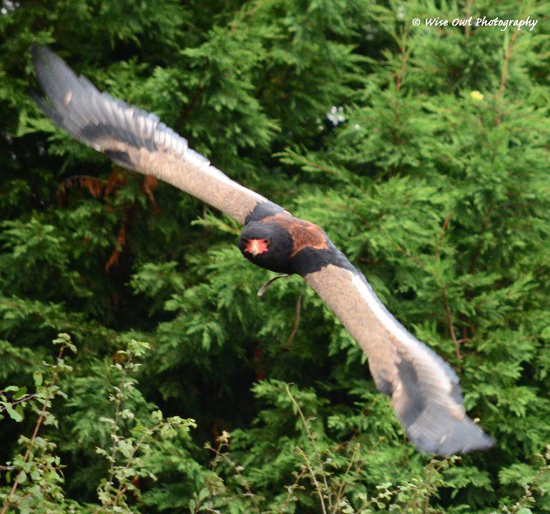 Bateleur Eagle 4