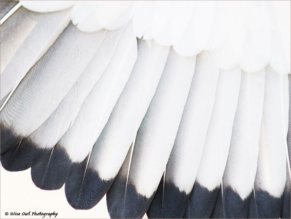 Bateleur Eagle Feathers