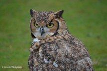 Bengal Eagle Owl 3