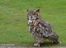 Bengal Eagle Owl 4