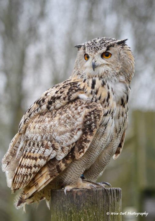 Bengal Eagle Owl 5