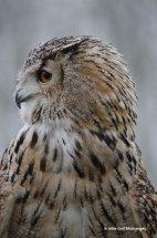 Bengal Eagle Owl 6